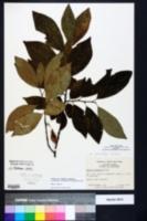 Halesia carolina image