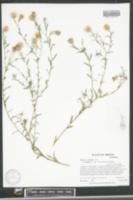 Dieteria asteroides var. glandulosa image