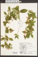Image of Abelia schumannii