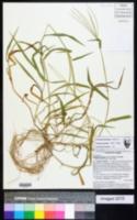 Digitaria bicornis image