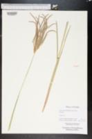 Eustachys distichophylla image