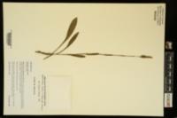 Spiranthes ovalis var. ovalis image