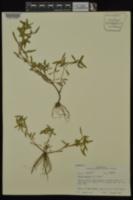 Rotala ramosior image