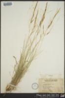 Aristida palustris image