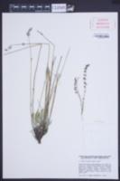Image of Lavandula latifolia