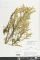 Acanthostyles buniifolius image