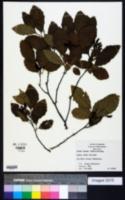 Image of Alnus rugosa