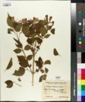Image of Cuspidaria convoluta