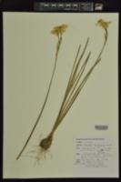 Narcissus tenuior image