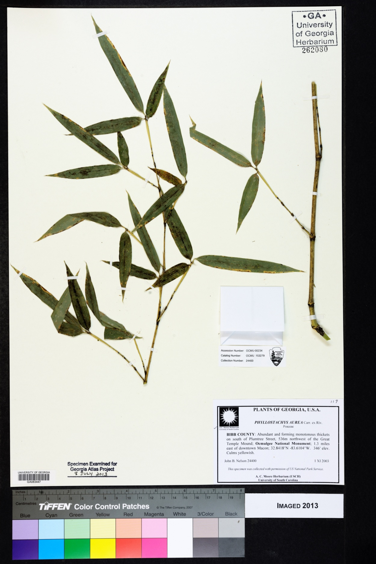 Phyllostachys image