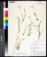 Image of Helanthium tenellum