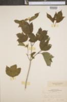 Viburnum opulus var. americanum image