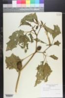 Image of Datura leichhardtii