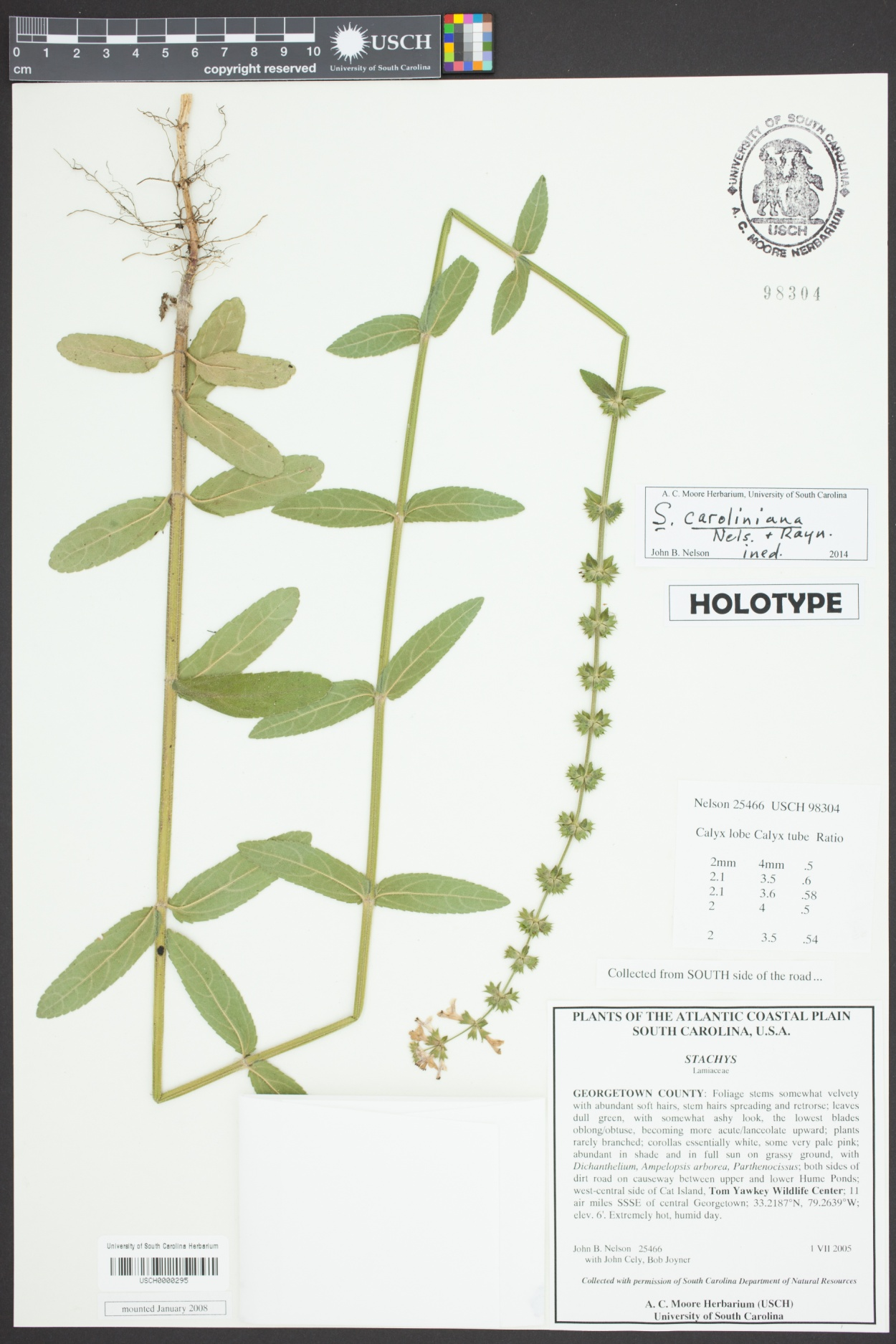 Stachys image