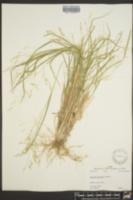 Panicum filiforme image