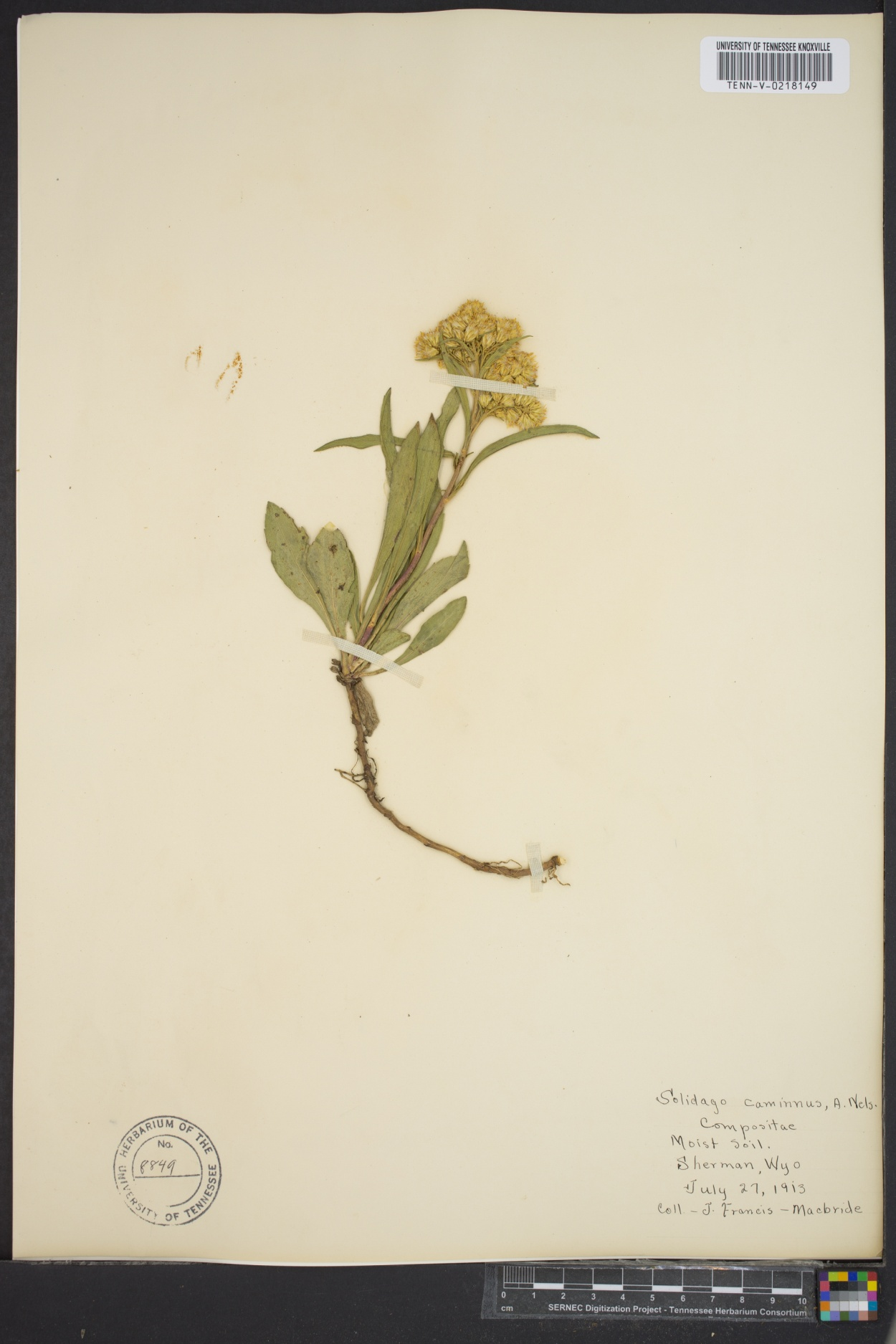 Solidago camporum image