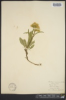 Image of Solidago camporum