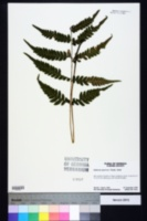 Image of Deparia petersonii