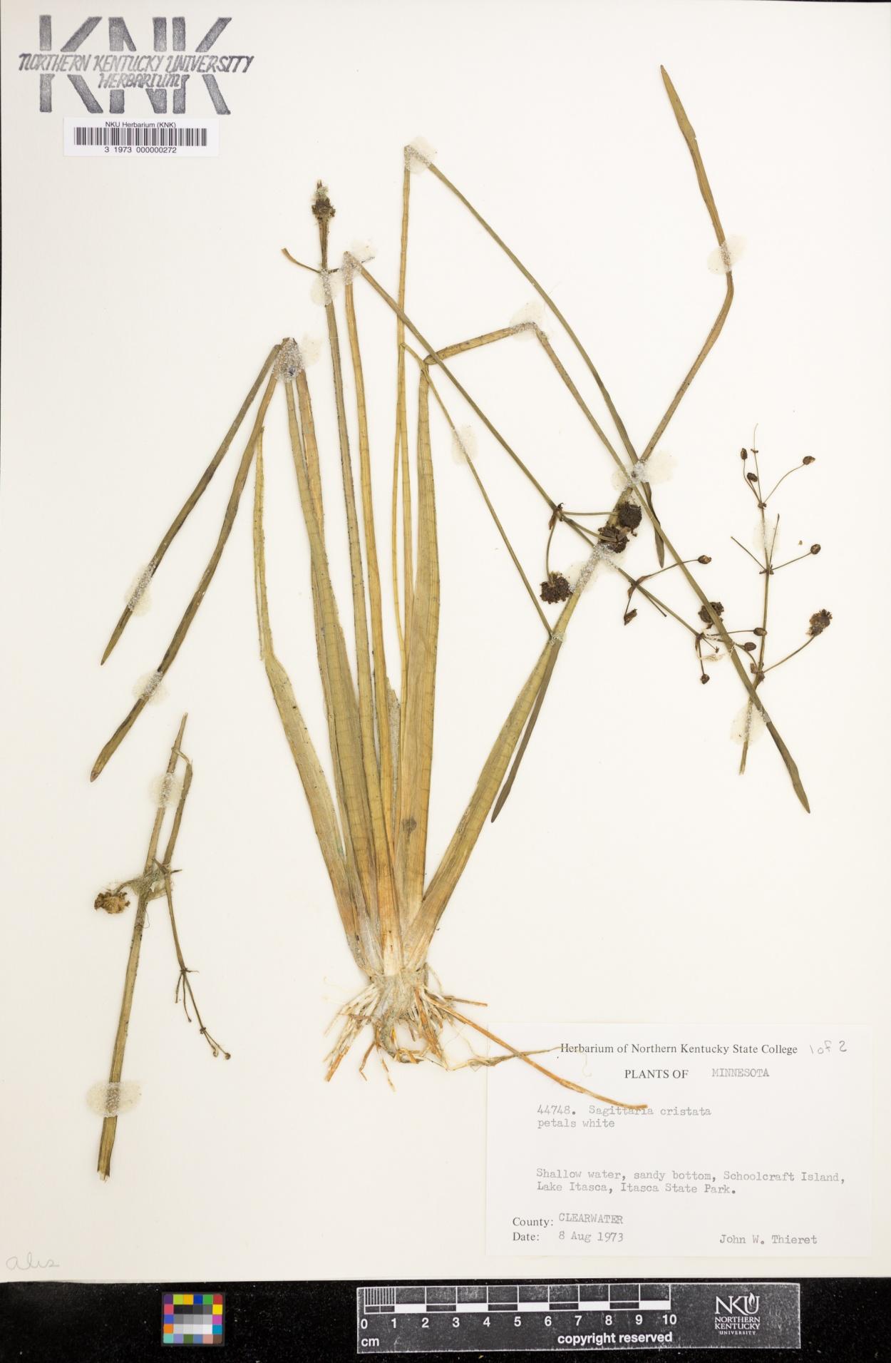 Sagittaria cristata image