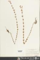 Hypericum denticulatum var. ovalifolium image