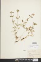 Image of Stachys floridana