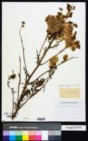 Image of Erigeron aegyptiacus