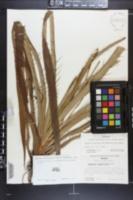 Eryngium longifolium image