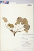 Hexastylis virginica image