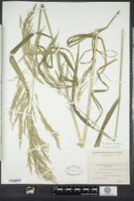 Cinna arundinacea image