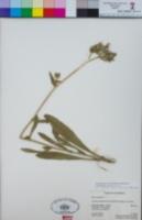 Helminthotheca echioides image