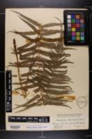 Thelypteris resinifera image