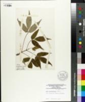 Acer mandshuricum image