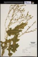 Lactuca serriola image