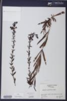 Image of Angelonia angustifolia