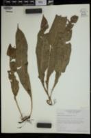 Campyloneurum costatum image