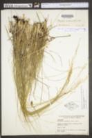 Image of Piptatheropsis canadensis