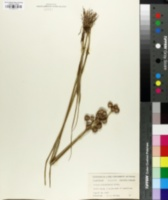 Image of Juncus fascinatus