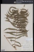 Amauropelta balbisii image