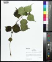 Image of Boehmeria japonica