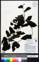 Smilax tamnoides image