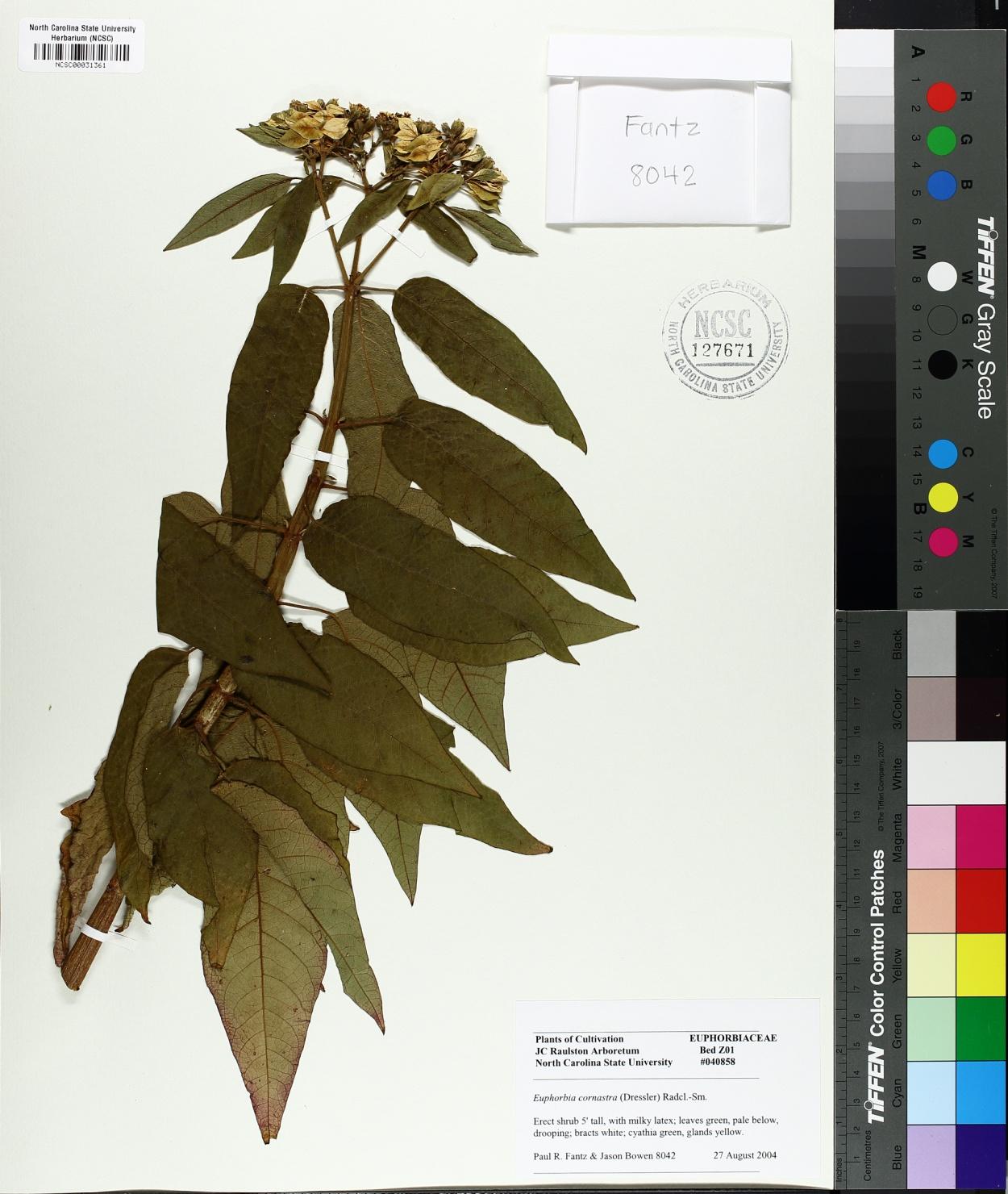 Euphorbia cornastra image