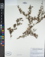 Cercocarpus ledifolius var. intricatus image