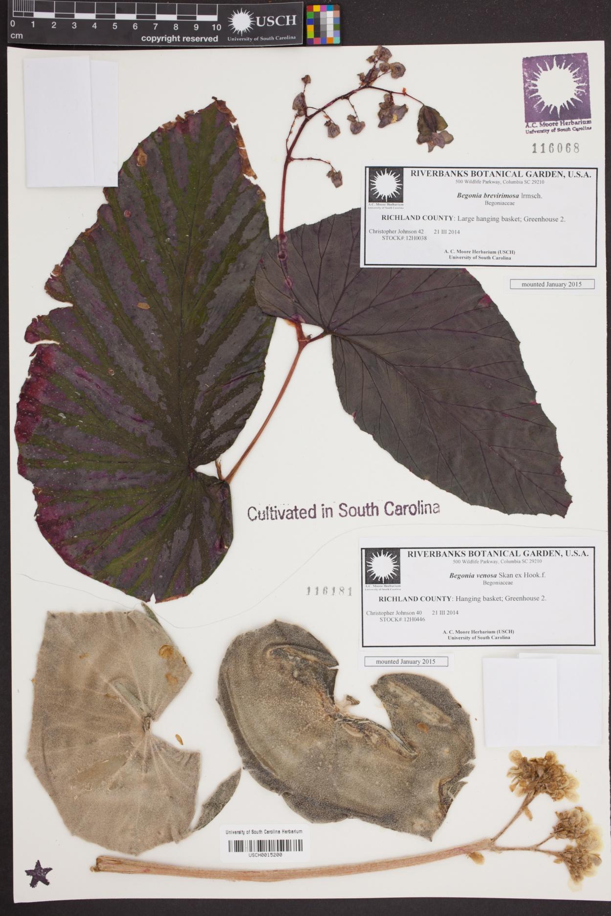 Begonia brevirimosa image