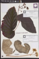 Image of Begonia brevirimosa