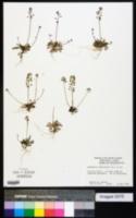 Teesdalia nudicaulis image