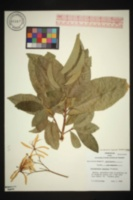 Image of Calodendrum capense