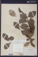 Image of Populus simonii