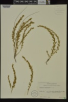Evolvulus nuttallianus image