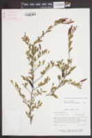 Image of Chamaecrista greggii