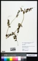 Vicia sativa subsp. sativa image
